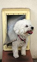 A Bichon Frise dog Smiles as she goes through her Dog Door; home tech
