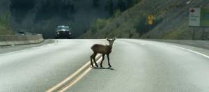 bambi collisions
